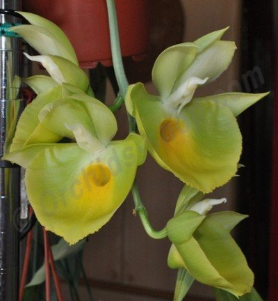 "Catasetum pileatum ""J.Green Gold"""