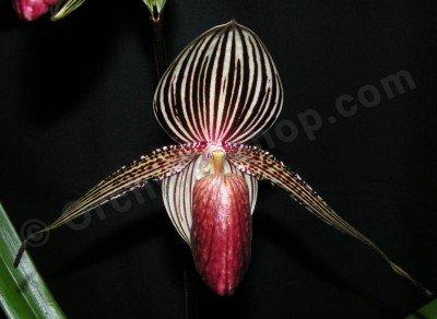 """Paphiopedilum rothschildianum """"Dark Red"""""""