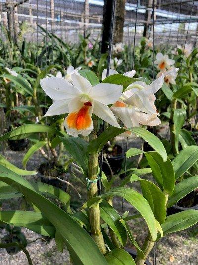 """Dendrobium formosum """"Myanmar"""" x Dendrobium Vergineum"""