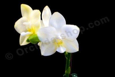 Phalaenopsis Tristar Snow Princess ''Big Plant ''