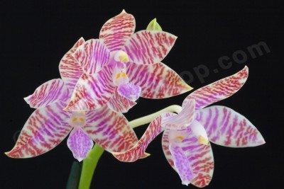 "Phalaenopsis lueddemanniana ""White"""