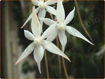 Aerangis kirkii ''Big plant'