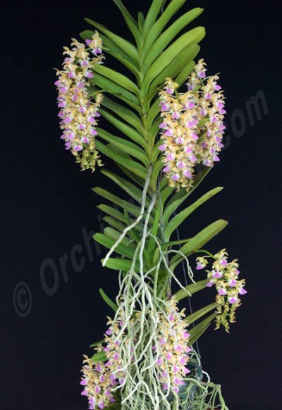 Aerides houlletiana 'Big'