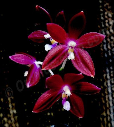 "Phalaenopsis speciosa ""Hepatic Red"""