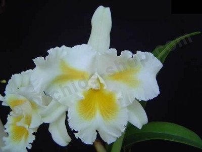 "Blc. Island Charm ""Blumeninsel"""