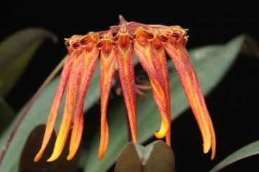 "Bulbophyllum farreri ""Orange/Yellow"""