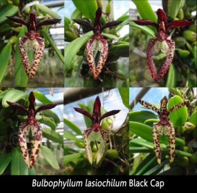 Bulbophyllum lasiochilum ''Dark Big XXL""