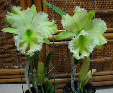 "Blc. Golf Green ""Hair Pig"""