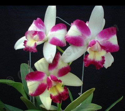 "Blc. Haw Yuan Beauty ""Hong"""