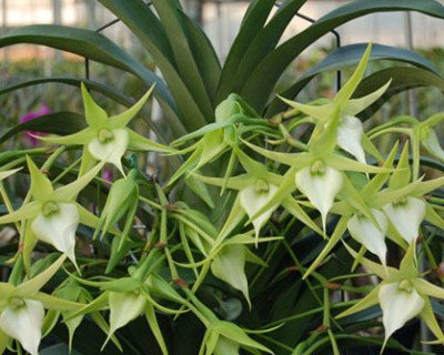 "Angraecum Crestwood ""Tomorrow Star''   'Big'"