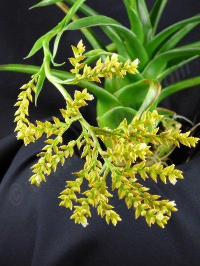 Catopsis brevifolia