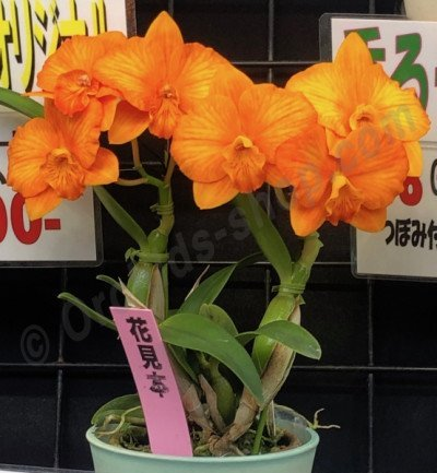 "Cattleya Candy Ball ""Orange Happy Child"""
