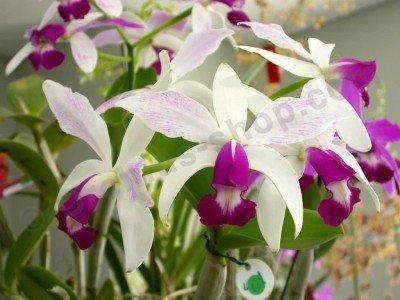 "Cattleya violacea semi alba ""Big"""