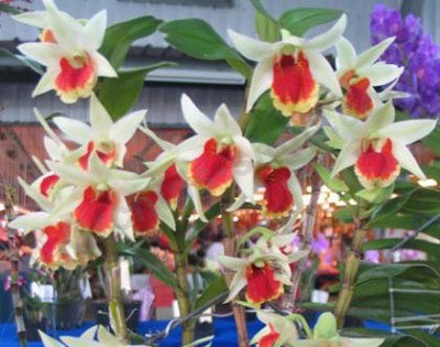 "Dendrobium Frosty Dawn ""Red Lip"""