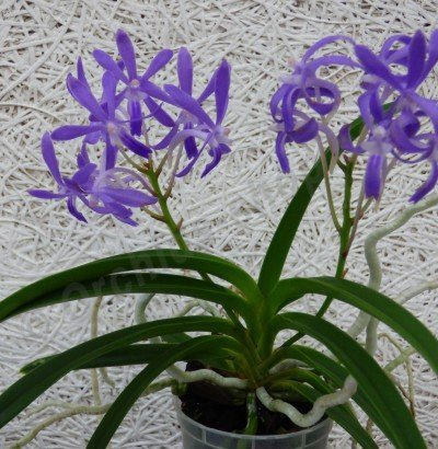 Neostylis ''Blue Moon Big''