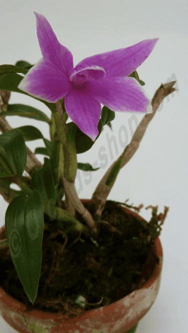 Dendrobium victoria-reginae x Den. cuthbersonii