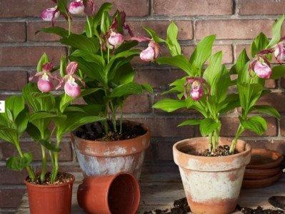 Cypripedium Macra Pink ''Big Plant''