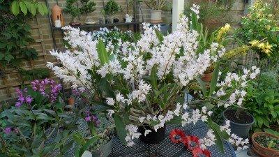 """Dendrobium delicatum """"Big"""" XXL"""