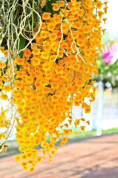 Dendrobium lindleyii