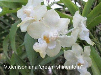 "Vanda denisoniana ""Cream Shinentorn"" ""Big"""