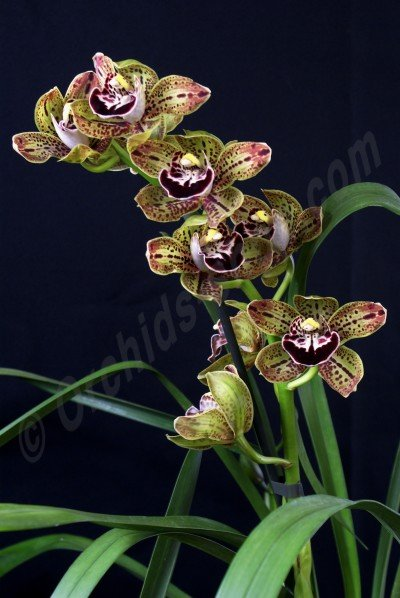 Cymbidium Harriet Ishitani