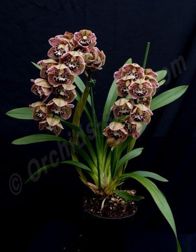 "Cymbidium Vogel`s Magic ""Big"""