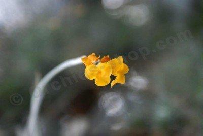 Tillandsia crocata (1+1 gratis, zolang de voorraad strekt)