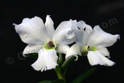 Dendrobium sanderae var. Luzonica