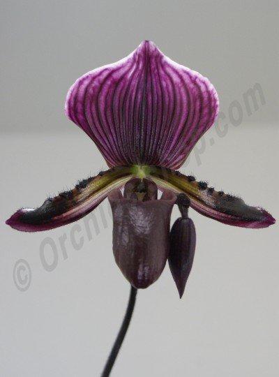 Paphiopedilum Maudiae Vinicolor x Lawrenceanum