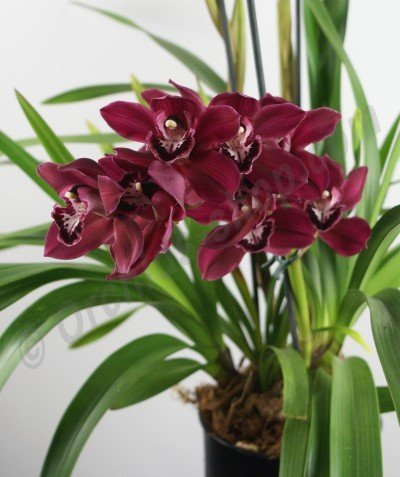 "Cymbidium Lady Fire ""Red Angelica"" (Compact Type)"