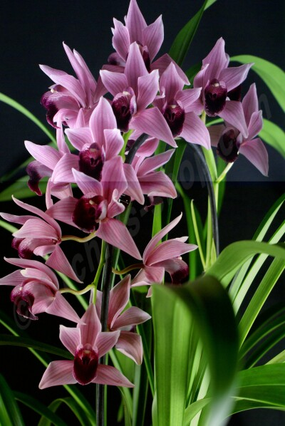 "Cymbidium Devon Wine ""Million Veil"" Big XXL Plant"