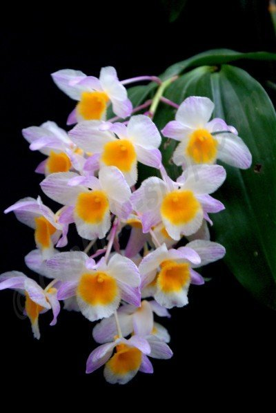 "Dendrobium farmerii ""Pink"""