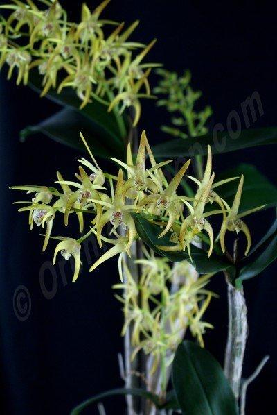 Dendrobium (tetragonum x speciosum) x tetragonum