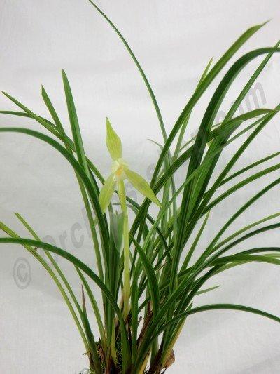 Cymbidium goeringii alba