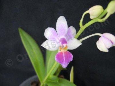Dtps. Anna Larati Soekadi x Phalaenopsis equestris