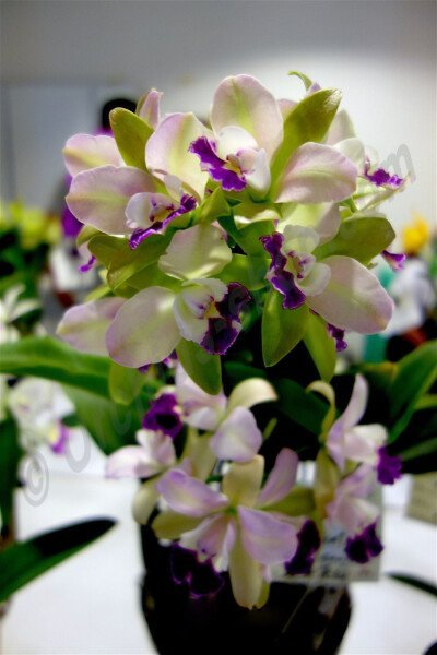 "Blc. Village Chief North ""Little Spring"""