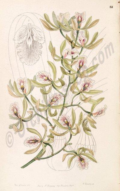 Encyclia aromatica