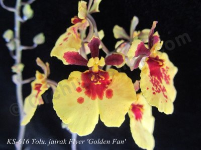 "Tolumnia Jairak Flyer ""Golden Fan"""
