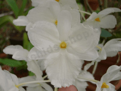 "Dendrobium farmeri alba sp. vietnam ""Big Plant"""