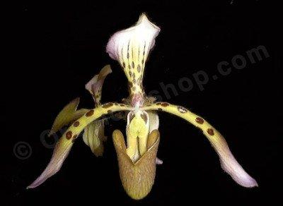 Paphiopedilum haynaldianum var. laurae