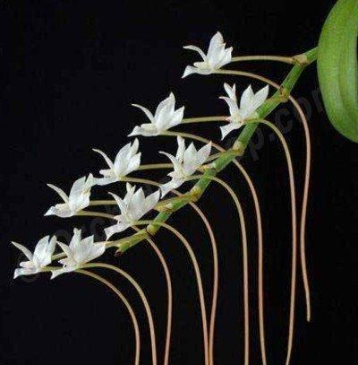 Aerangis ellisii ''Big Plant''