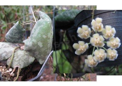 """Hoya imbricata """" Silver leaves"""""""