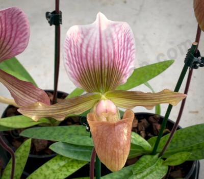 Paphiopedilum charlesworthii alba x Paph. Maudiae Green