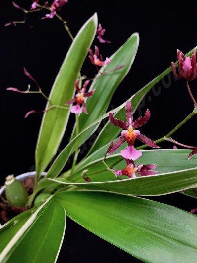 Oncidium Katharina Zoch `Mieke` var variegata  (Fragrance)
