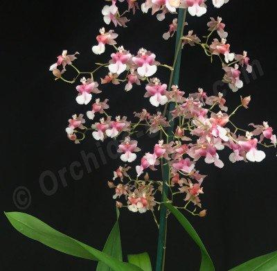 Oncidium Pink Fragrance