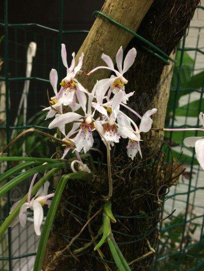 Holcoglossum wangii