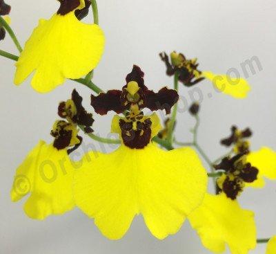 """Oncidium varicosum """"Balduin Black"""""""