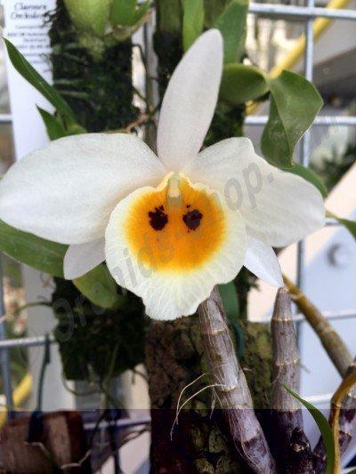 Dendrobium bensoniae
