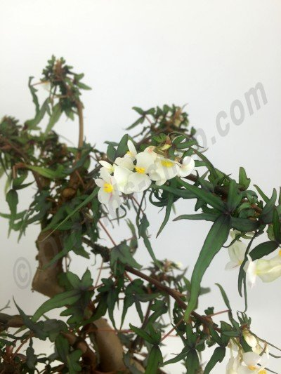 "Begonia partita ""Small"""