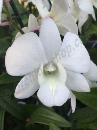"""Dendrobium bigibbum """"White"""""""